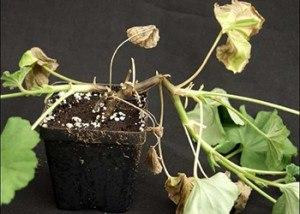Борьба с вредителями и болезнями комнатных растений - Гниль стеблей