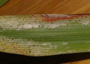 Борьба с вредителями и болезнями комнатных растений - Трипсы