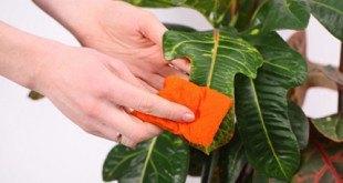 Протирают листья растений