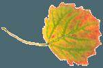 Осиновый лист