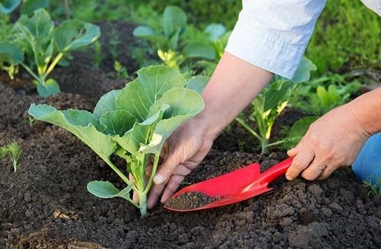 Капусту высаживают в грунт преимущественно рассадой