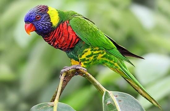 Лори - некрупный яркий попугай родом из Индонезии