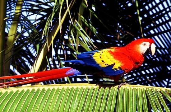 Ара - самый крупный попугай