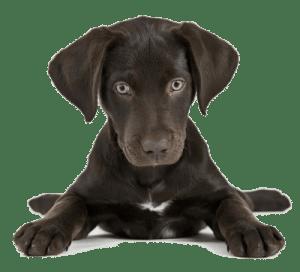 Коричневый щенок