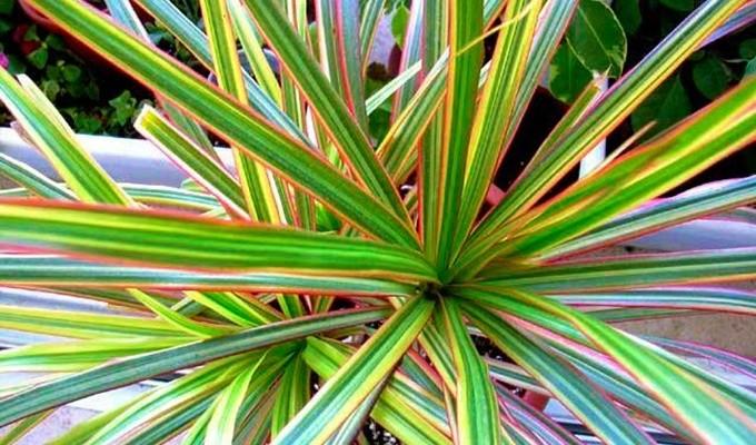 Драцена драко - растение большого семейства иглицевые