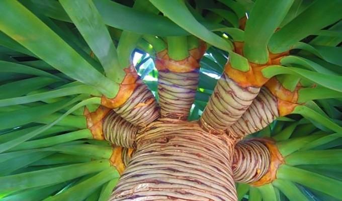 Драконовое дерево хорошо размножается семенами и верхушечными черенками