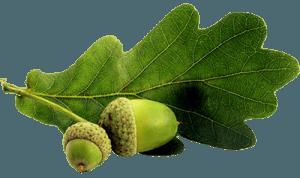 Лист дуда с желудями