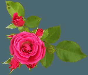 Роза - розовая с листьями