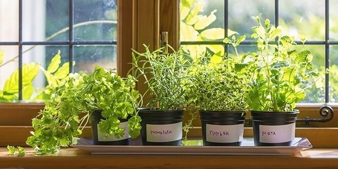 Овощные растения на подоконнике