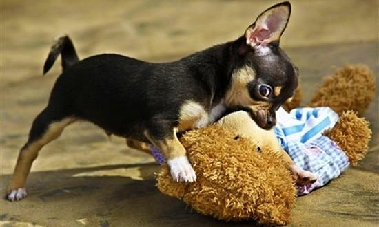 Маленькая собачка кусает плюшевого медведя