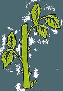 Самый простой способ размножения роз - черенкование
