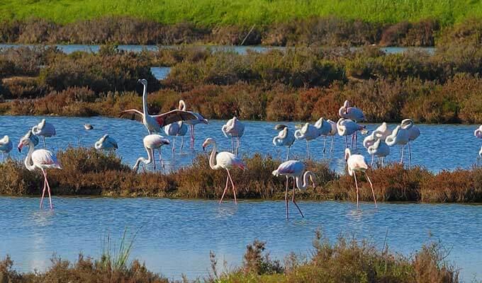 Парк «Риа Формоза», в котором живет колония сколь привередливых, столь же и прекрасных розовых фламинго