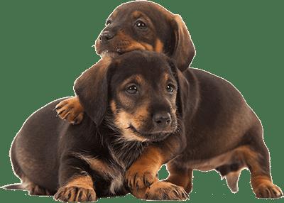 Два щенка
