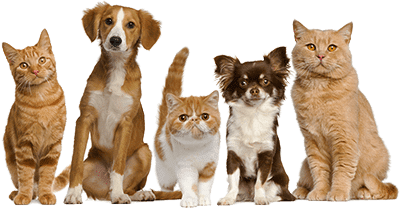 Кошки и собаки рыжего цвета