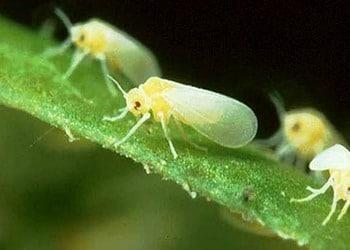 Борьба с вредителями и болезнями комнатных растений - Белокрылка