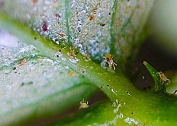 Борьба с вредителями и болезнями комнатных растений - Паутинный клещ