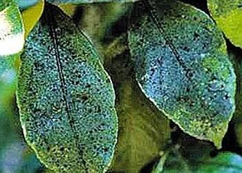Борьба с вредителями и болезнями комнатных растений - Чернь