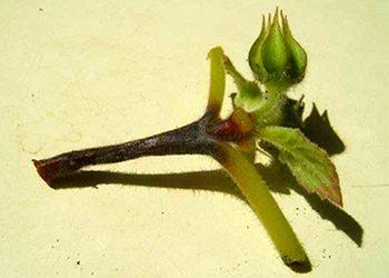 Борьба с вредителями и болезнями комнатных растений - Черная ножка