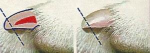 Необходимая помощь заключается в скусывании когтя по соответствующей длине