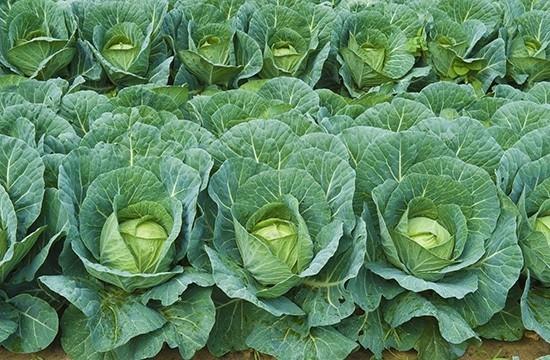 Капуста - выращивать капусту не так уж легко