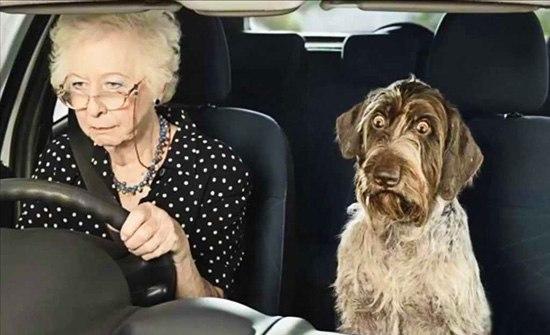 Пожилая англичанка с собакой за рулем автомобиля