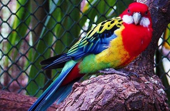 Розелла - этот попугай родом из Австралии