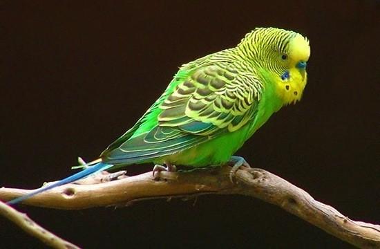 Волнистый попугайчик - самый распространенный в мире домашний пернатый