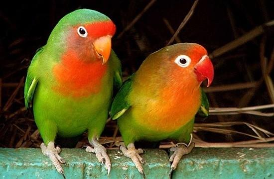 Неразлучники - некрупные яркие попугаи плотного телосложения