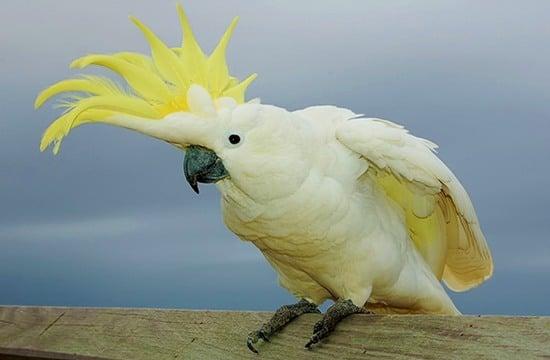 Какаду - крупный попугай родом из Индонезии и Австралии
