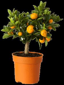 Мандариновое дерево в горшке