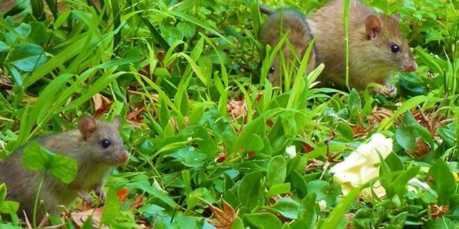 Враги наши меньшие: как защитить сад от грызунов осенью
