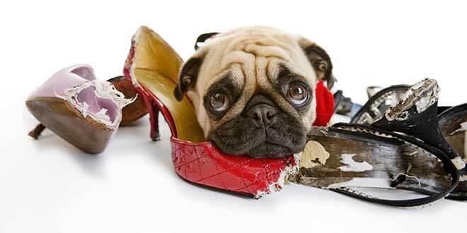 Собака с обувью