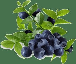 Ягоды и листья черники
