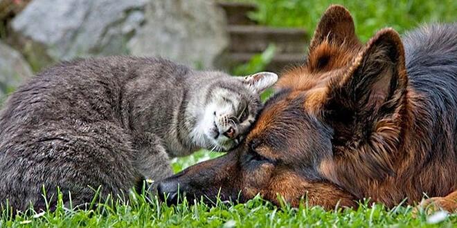 Кошка трется о собаку